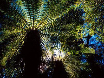 https://imgc.allpostersimages.com/img/posters/tree-ferns-catlins-south-island-new-zealand_u-L-P2TC920.jpg?p=0