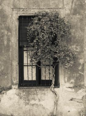 Tree in Front of the Window of a House, Calle San Jose, Colonia Del Sacramento, Uruguay