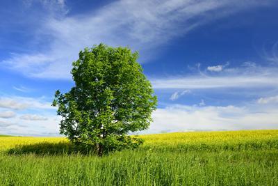 https://imgc.allpostersimages.com/img/posters/tree-on-the-edge-of-a-rape-field-in-the-spring-saalekreis-saxony-anhalt-germany_u-L-Q11YM5G0.jpg?artPerspective=n