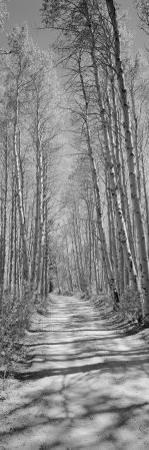 Trees Along a Road, Log Cabin Gold Mine, Eastern Sierra, Californian Sierra Nevada, California, USA