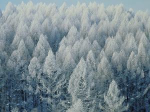 Trees Biei-Cho Hokkaido
