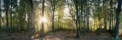 Trees in a Forest, Black Forest, Freiburg Im Breisgau, Baden-Wurttemberg, Germany