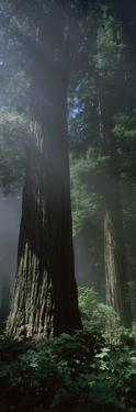 Trees in a Forest, Del Norte Coast Redwoods State Park, Del Norte County, California, USA