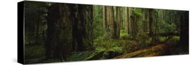 Trees in a Forest, Hoh Rainforest, Olympic National Park, Washington, USA