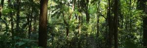 Trees in a Forest, Rainforest, Trianon Park, Sao Paulo, Brazil
