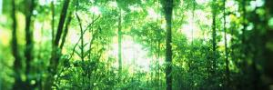 Trees in a Rainforest, Arenal Region, Costa Rica