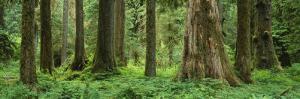 Trees in a Rainforest, Hoh Rainforest, Olympic National Park, Washington, USA