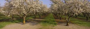 Trees in a Row, Almond Tree, Sacramento, California, USA