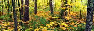 Trees in Autumn, Copper Falls State Park, Mellen, Ashland County, Wisconsin, USA