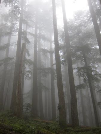 https://imgc.allpostersimages.com/img/posters/trees-in-fog-mount-ellinore-trail-olympic-peninsula-washington-usa_u-L-PN729I0.jpg?p=0