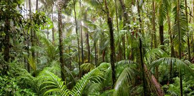 Trees in Tropical Rainforest, Eungella National Park, Mackay, Queensland, Australia