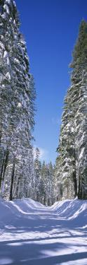 Trees on Both Sides of a Snow Covered Road, Crane Flat, Yosemite National Park, California, USA