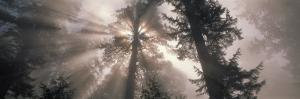 Trees Redwood National Park, California, USA
