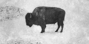 Buffalo by Trent Foltz