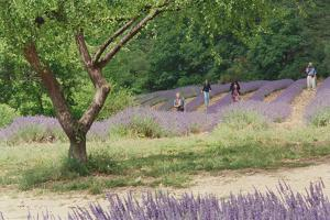 Tree in Lavender Field, in the Grounds of Abbaye Senanque, Provence, France, 1999 by Trevor Neal