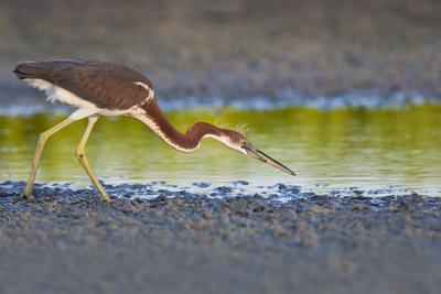 https://imgc.allpostersimages.com/img/posters/tri-colored-heron-egretta-tricolor-fishing-on-the-coast-texas-usa_u-L-PN6U950.jpg?p=0
