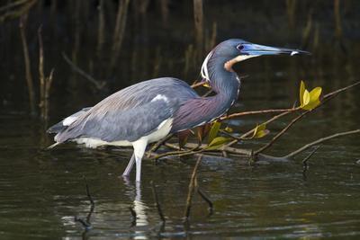 https://imgc.allpostersimages.com/img/posters/tri-colored-heron-egretta-tricolor-fishing-on-the-coast-texas-usa_u-L-PN6U9K0.jpg?p=0