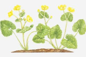 Illustration of Caltha Palustris (Marsh Marigold), Yellow Flowers by Tricia Newell