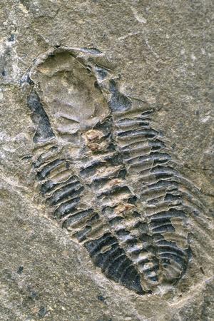 https://imgc.allpostersimages.com/img/posters/trilobite-fossil_u-L-PZJXSX0.jpg?p=0