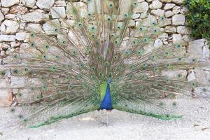 Croatia, Dubrovnik, Lokrum Island. Peacock courtship display. by Trish Drury