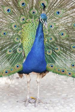 Croatia, Dubrovnik. Peacock in courtship display on Lokrum Island. Acclimated due to no predators. by Trish Drury