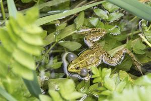 Croatia. Eurasian Marsh Frog (Pelophylax ridibundus) croaking Krka National Park. by Trish Drury