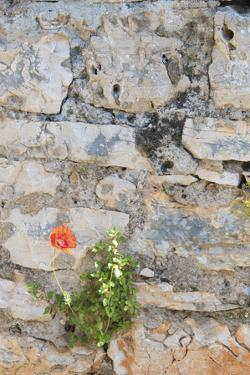 Croatia, Hvar, Vrboska. Poppy grows in stone wall. by Trish Drury