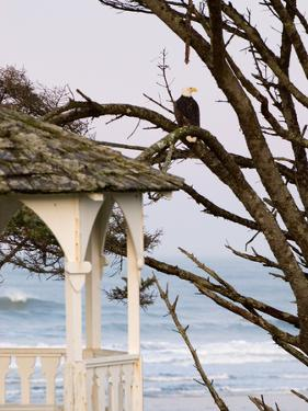 Eagle Perched at Entrance to Beach Trail, Kalaloch Lodge, Olympic National Park, Washington, USA by Trish Drury