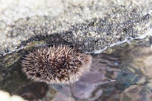 Mexico, Baja California Sur, Sea of Cortez. Sea urchin clings to underside of rock by Trish Drury