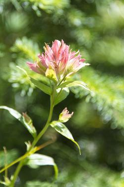 USA, MT, Glacier NP. Paintbrush Wildflower Blooming Along Trail by Trish Drury