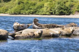 Washington State, Poulsbo. Harbor Seal Haul Out. Liberty Bay by Trish Drury