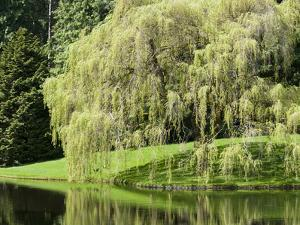 Weeping Willow, Japanese Gardens, Bloedel Reserve, Bainbridge Island, Washington, USA by Trish Drury