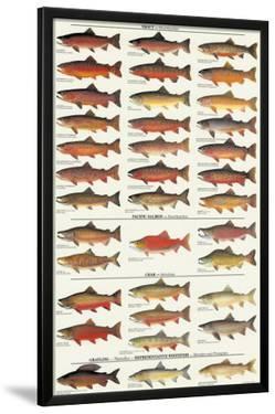 Trout, Salmon & Char of North America I