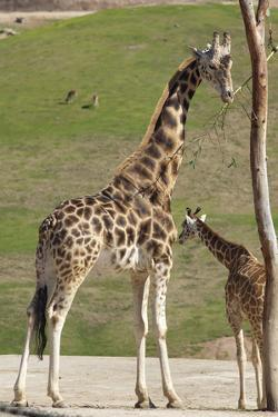 Close up View of Giraffe Staying near Tree and Eating by trubach
