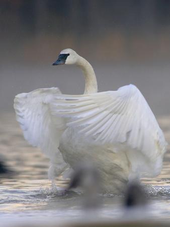 https://imgc.allpostersimages.com/img/posters/trumpeter-swan-cygnus-buccinator-flapping-its-wings-magness-lake-arkansas_u-L-Q1CZZYX0.jpg?p=0