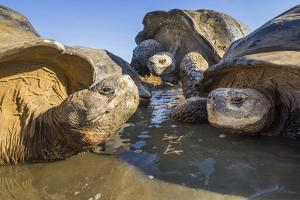 Alcedo giant tortoise group resting in pool, Galapagos by Tui De Roy