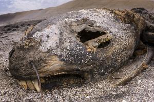 Alcedo giant tortoise pair, Isabela Island, Galapagos by Tui De Roy