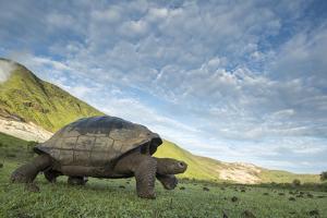 Alcedo giant tortoise walking, Isabela Island, Galapagos by Tui De Roy