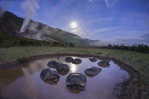 Alcedo giant tortoises in water to keep cool, Galapagos by Tui De Roy