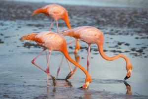 American flamingo pair in courtship, group of three feeding, Floreana Island, Galapagos by Tui De Roy