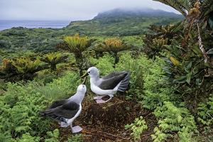 Atlantic yellow-nosed albatross courtship display, Gough Island, South Atlantic by Tui De Roy