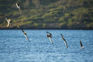 Blue-footed boobies diving, Santiago Island, Galapagos by Tui De Roy