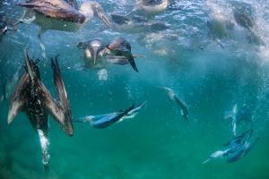 Blue-footed booby fishing, Santa Cruz Island, Galapagos by Tui De Roy