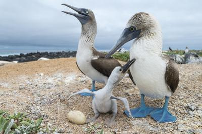 Blue-Footed Booby (Sula Nebouxii) Pair With Chick And Egg At Nest, Santa Cruz Island, Galapagos by Tui De Roy
