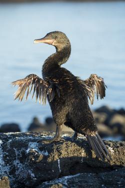 Flightless cormorant drying wings on rocks, Galapagos by Tui De Roy