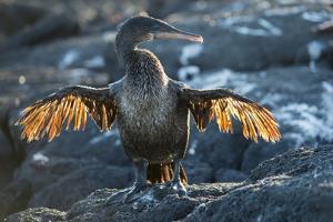 Flightless cormorant, Fernandina Island, Galapagos by Tui De Roy