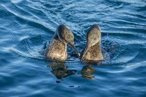 Flightless cormorant pair in courtship,  Puerto Pajas, Isabela Island, Galapagos by Tui De Roy