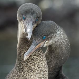 Flightless cormorant pair in courtship Puerto Pajas, Isabela Island, Galapagos by Tui De Roy