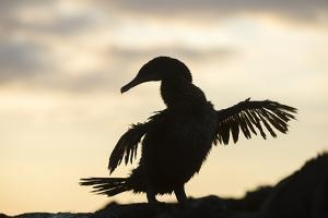 Flightless cormorant silhouetted,  Punta Espinosa, Fernandina Island, Galapagos by Tui De Roy