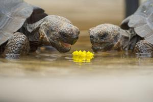 Floreana giant tortoise hybrid descendants, Galapagos by Tui De Roy
